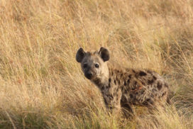 Hyena Puppy in Liuwa Plain