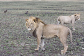 Lions Busanga Plains