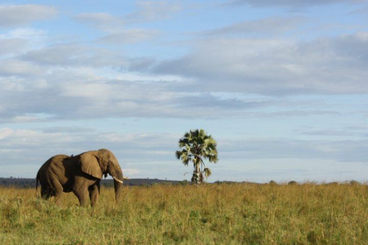 Elephant strolling in Kidepo Savann