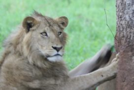 Young Lion in Kidepo Valley