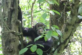A Chimpanzee in Budongo Forest
