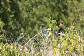 Carmine Bee Eaters in the bush