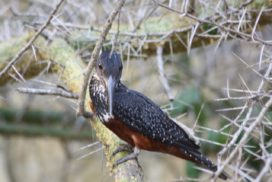 Curious Giant Kingfisher