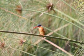 Malachite Kingfisher Uganda