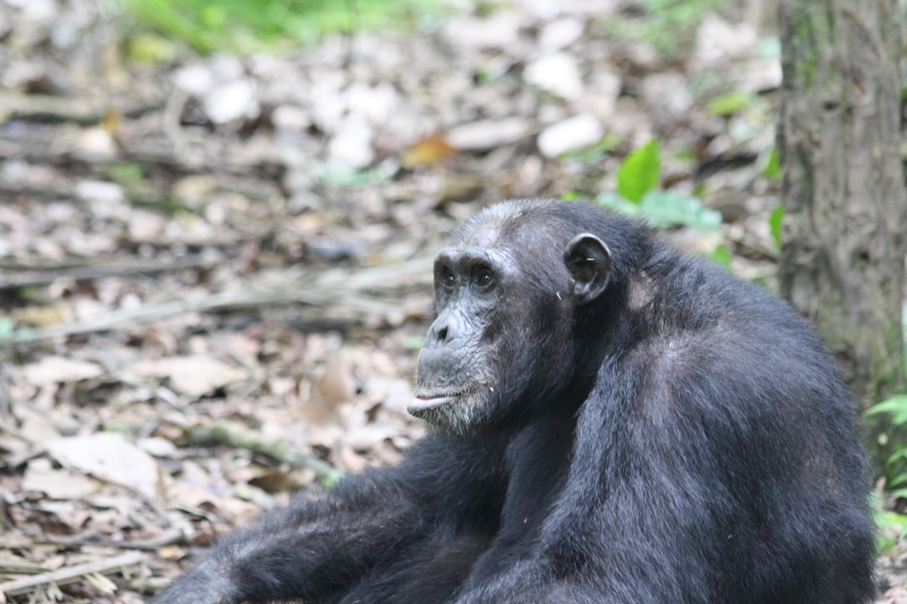 Leader of the Chimpanzee Group in Mahale